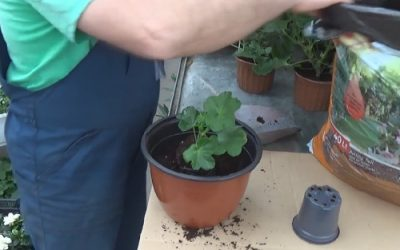 How to plant pelargonium